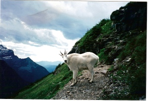 NOT to be confused with a grizzly bear, these mountain goats were everywhere and not at all afraid of people.